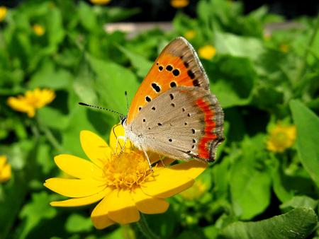 papillon - Lycaena_phlaeas_daimio