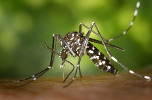 1200px-CDC-Gathany-Aedes-albopictus-1